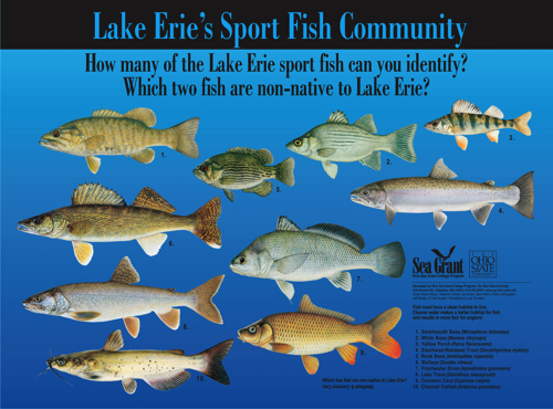 Lake erie 39 s sport fish and the lake erie 39 s dead zones for Lake erie fish species